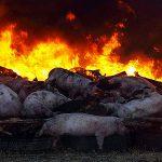 На агрокомбинате под Киевом обнаружена африканская чума свиней
