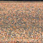 Семена из черкасских тыкв-гигантов лечат граждан Турции и продаются в Европе