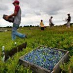 На польских плантациях работает 55 % гастарбайтеров