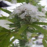 Что такое индор и аутдор и при чем здесь семена марихуаны