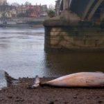 В Лондоне под мостом нашли тело мертвого кита