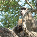 Та самая сцена из «Короля Льва»: Фотограф снял, как бабуин несет львенка