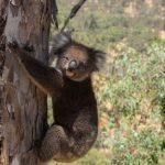 В Австралии десятки мертвых коал нашли в срубленном лесу
