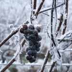 «Этот год войдет в историю»: в Германии не смогли собрать урожай для ледяного вина