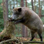 В ландшафтном парке Краматорска показали жизнь диких кабанов