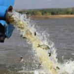 В водоемы Бахмута и Марьинки выпустили около 60 тысяч мальков ценной рыбы
