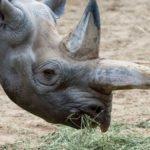 В зоопарке Берлина умер самый старый в мире черный носорог